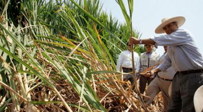 En Cúcuta se impulsa proyecto de caña para dejar la coca